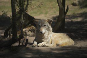 Wolf SA